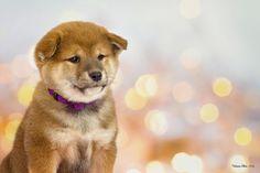 https://www.flickr.com/photos/103773943@N04/shares/A12166 | Photos de Patricia Silva #shibainu #puppy