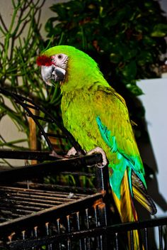 Parrot, reminds mr of my childhood pet, coucou