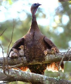 """Four wild turkey chicks are perched on a branch of a pine tree under the guard of their mother's wings in a Pembroke backyard. (John Tlumacki/Globe Staff)"""