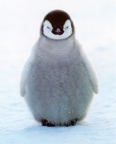 baby penguin...what a doll!