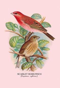 1913 British Warblers Print Male Garden Warbler ~ GrÖnvold Special Buy Art Prints