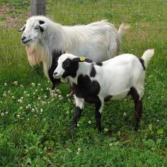 15 best breeds of goats that are raised for milk,meat and other purposes