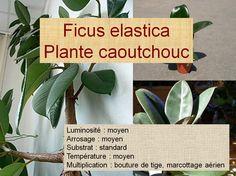 le caoutchouc ficus elastica est une belle plante verte d 39 int rieur de culture facile le. Black Bedroom Furniture Sets. Home Design Ideas