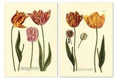 """Weinmann Flowers III - Vintage LithographS -each 17"""" x 21.5""""-Need Mats & Frames"""