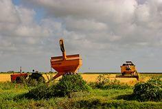 Rice field in Guyana, South America
