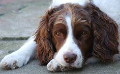 pictures of english springer spaniels | English Springer Spaniel | Flickr - Photo Sharing!