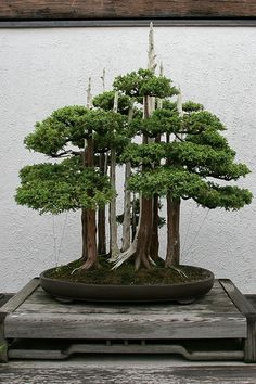 Chinese juniper forest. I really love the look of Bonsai trees. Please check out my website thanks. www.photopix.co.nz