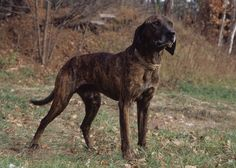 11 Truly American Dog Breeds. Plott Hound