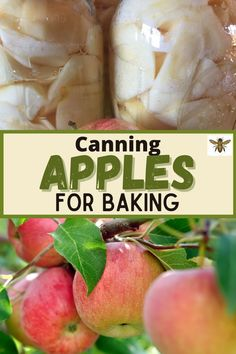 Ever wonder how to can apples for baking? Wouldn't it be wonderful to be able to use apples that you canned at home in all your apple recipes? Canning apples at home is simple to do and will save you time and money. I've got all the tips and tricks, et's talk about how to can apples the easy way! #apples #canning #foodpreservation #preserving #homecanning #canningrecipes #recipe Canning Apples, Canning Jar Labels, Canning Tips, Canning Recipes, Apple Chips, Apple Bread, Ball Mason Jars, Pressure Canning, Sustainable Food