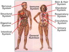 Good poster showing 11 human organ systems. Reproductive System, Endocrine System, Respiratory System, Human Body Structure, Alcohol Aesthetic, Fertility Problems, Human Body Systems, Muscular System, Hair System