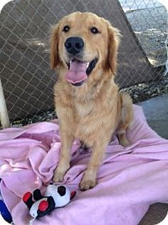 Temecula, CA - Golden Retriever. Meet Bentley, a dog for adoption. http://www.adoptapet.com/pet/13688111-temecula-california-golden-retriever