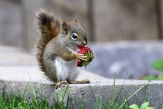 May 9-16 Red Squirrel (juv) (12) | maerlyn8 | Flickr