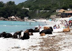 Cows & people, enjoying the sun & surf. Plage de Saleccia, Corsica.