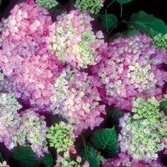Hydrangea - Hydrangea macrophylla Bodense