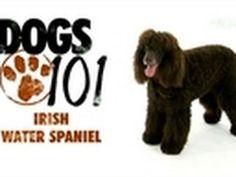 7 Big Dogs That Don't Shed #dogbreedsthatdontshed