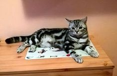 Szuszi Cat Kennel: Kandúr cicánk Cat Kennel, Animals, Animales, Animaux, Animal, Animais, Cat Houses