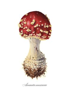 Botanical Illustration art print, Amanita muscaria mushroom.. $50.00, via Etsy.