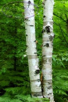 My grandparent's had a circle of birch trees outside their living room window. I loved to peel the bark which greatly annoyed my grandpa.