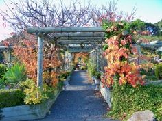 arbor of grapes and espaliered apple and apricot trees