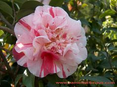 Camellia japonica 'Mississippi Beauty' (U.S., 1952)