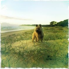 Fuck Yeah Cairn Terriers : Photo