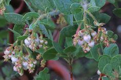 Arctostaphylos catalinae—Santa Catalina manzanita. Regional Parks Botanic Garden Picture of the Day. 19 Jan 2016