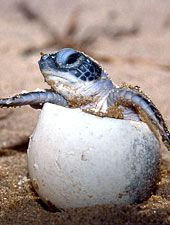 -- isn't it incredible how a little turtle comes out of an egg - a shell... ? Is that not just crazy? The Creator must be awefully creative! :)