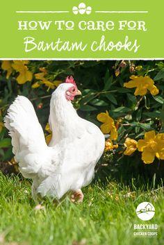 Leghorn Chickens, Bantam Chickens, Best Egg Laying Chickens, Types Of Chickens, Backyard Chicken Coops, Chickens Backyard, Rhode Island Red, Small Chicken, Building A Chicken Coop