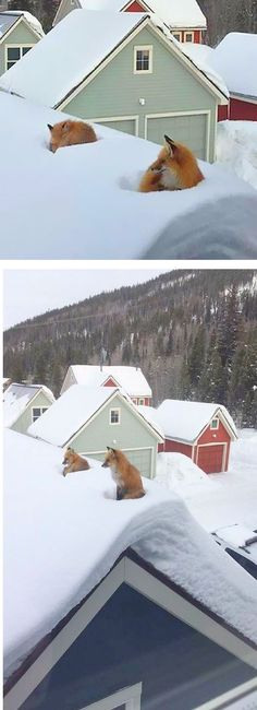 AMAZING !!!! Two FOXES On the ROOF.... #photo by by​ Stella Muir on boredpanda.com