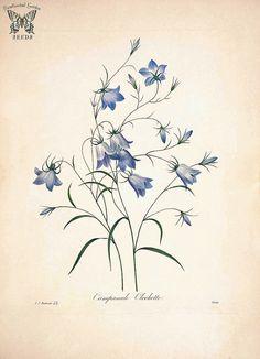 Rampion Bellflower, Creeping Bellflower. Campanula rapunculoides. Choix des plus belles fleurs -et des plus beaux fruits par P.J. Redouté. (1833) | by Swallowtail Garden Seeds