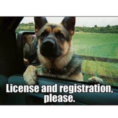 Wicked Training Your German Shepherd Dog Ideas. Mind Blowing Training Your German Shepherd Dog Ideas. Humor Animal, Animal Memes, Police Humor, Police Dogs, Nurse Humor, Funny Animal Pictures, Funny Animals, Cute Animals, Funny Photos