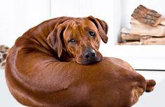 Rhodesian Ridgeback Dog Breed Picture