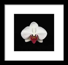 Moth Orchid Against Black Background Framed Print by Mike Hill. All framed prints are professionally printed, framed, assembled, and shipped within 3 - 4 business days and delivered ready-to-hang on your wall. Choose from multiple print sizes and hundreds of frame and mat options. Mike Hill, Moth Orchid, Black Wood, Hanging Wire, Clear Acrylic, Black Backgrounds, Fine Art America, Orchids, Design Inspiration