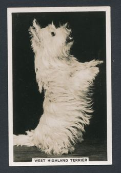 West Highland Terrier from series Dogs by Senior Service Cigarettes card #19