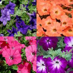 Kit de 4 Surfinias couleurs mixtes Petunias, Patio, Plants, Colors, Plant, Planets, Terrace