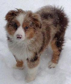 Awww looks like my boy when he was a pup! Maverick the Australian Shepherd