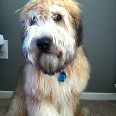 Capri - my Soft Coated Wheaton Terrier.