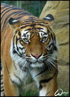 Satu, Sumatran tiger (Panthera tigris sumatrae), taken in ZOO Brno other shot: Comics: Much more big cats shots here: