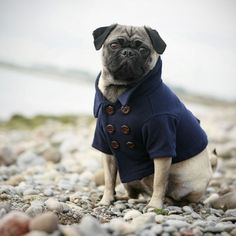 pug on skipper peacoat