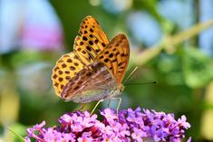 Shop Butterfly Large Fritillary Color Poster created by hellocute. Personalize it with photos & text or purchase as is! Free Pictures, Free Images, Butterfly Quotes, Poster Colour, Nature Quotes, Beautiful Butterflies, Custom Posters, Custom Framing, Moth