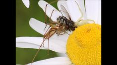 Video taken on a windy day where two spiders compete for the same prey item. Crab Spider, Windy Day, Spiders, Bugs, Daisy, Meal, Food, Spider, Beetles