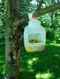 Use a one gallon jug with a handle (milk or laundry soap jugs work great), cut out an opening, fairly good sized. Mix together the following, 2 cups sugar, 2 cups white vinegar and 2 to 4 banana peels. Pour into your jug and hang on lower branch in apple tree by the handle (S hooks or cut up rag strips work good for attaching to the tree). Can use more than one jug, depending on size of tree. Dump when full of bugs or mixture is gone; clean out and fill up again.Put this homemade mixture…