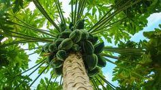 Papaya tree and fruits. Garden of the Groves. Freeport, Bahamas.  #CruiseHappy #Bahamas #Cruise #TravelIdeas #TravelInspiration #Cruising #Vacation #Travel