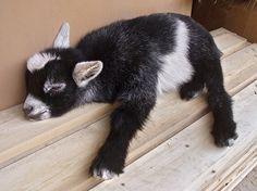 sleeping baby goat