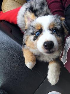 💙Sully the Augie ( Corgi + Mini Aussie) Corgi Aussie Mix, Corgi Mix Puppies, Corgi Husky Mix, Corgi Mix Breeds, Australian Shepherd Puppies, Mini Aussie, Corgi Dog, Cute Puppies, Cute Dogs
