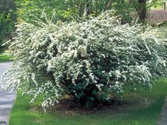 Bridal wreath spirea  bursts into bloom in mid-spring, forming a fountain of white in the landscape. Flowers linger at least one week, creating a breathtaking display. This is an old-fashioned shrub that's very low-maintenance. Give it room to spread so branches can cascade freely. Count on bridal wreath for hedging, creating a screen or combining with perennials. Hardy in Zones 4 to 9.