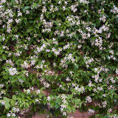 The beautiful 'Star Jasmine' is one of our customers favourite climbers... produces waves of gorgeous pure-white star-like flowers across summer, each one with simply stunning fragrance! Evergreen and winter hardy, it will add year-round interest to your garden as the foliage changes from a rich purple in winter to a deep-green in spring and summer. #trachelospermum #starjasmine #climbinplants #evergreen…
