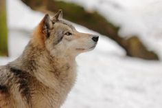 Wolf Face 1 by landkeks-stock on DeviantArt Wolf Poses, Wolf Face, Woodland Creatures, Photo Canvas, Animal Photography, Art Reference, Husky, Wildlife, Wolves
