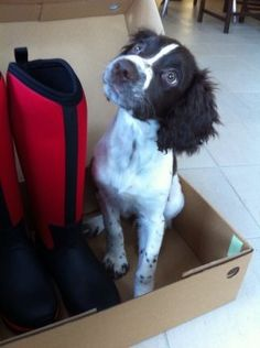 Rainbow Bridge: Liver And White English Springer Spaniel Female