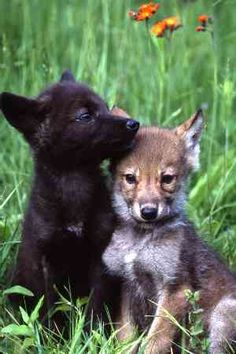 Adorable Wolf Cub Pictures — From Animal Talk  via  Bobby Schaefer Schaef Designs Jewelry.com